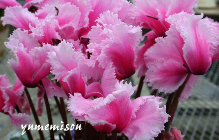 優しいピンクのシクラメン