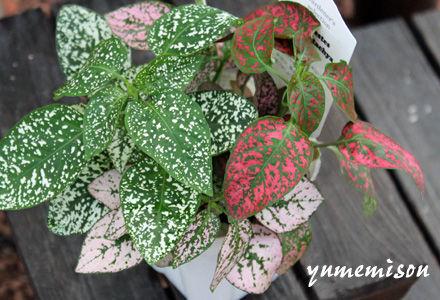 観葉植物 ヒポエステス