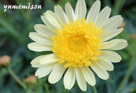 マーガレット 白と黄色