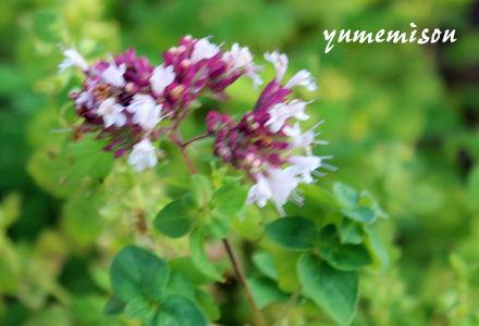 ハーブ苗 オレガノの花