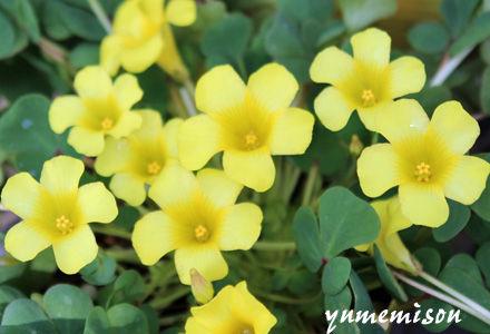 オキザリスの花 黄色