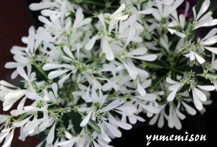 ユーフォルビの鉢植え