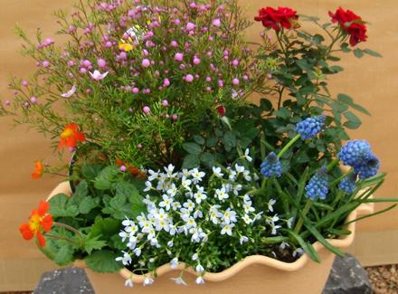ヒナ草など春の花の寄せ植え
