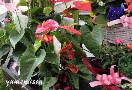 観葉植物 アンスリウム
