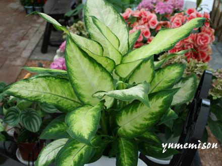 観葉植物 ディフェンバキア