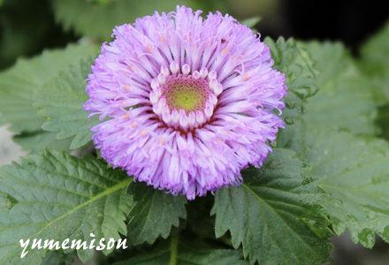 紫ルーシャンの花