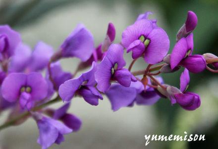 ハーデンベルギア 紫