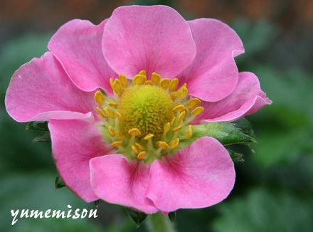 花も綺麗なイチゴ苗
