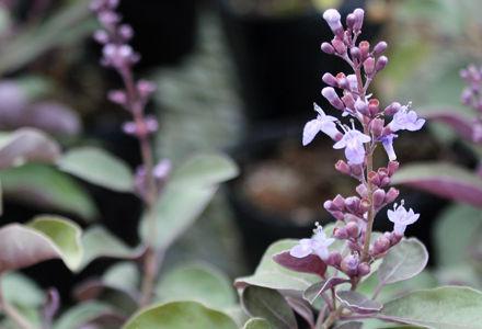 西洋ニンジンボクの花