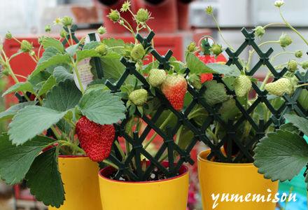 苺の鉢植え販売中!