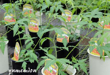ミラクルニームの鉢植え