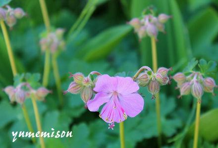 フウロソウの花
