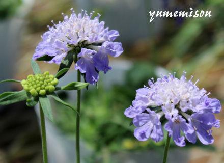 スカビオサの花苗