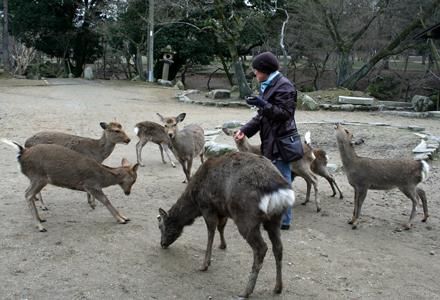 鹿せんべいを見て群がって来ました。