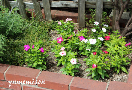 花壇に日々草を植えました。