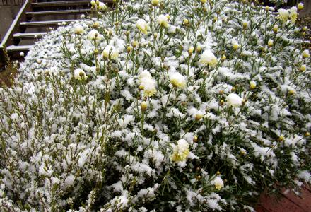 咲き始めたマーガレットが・・・・雪化粧