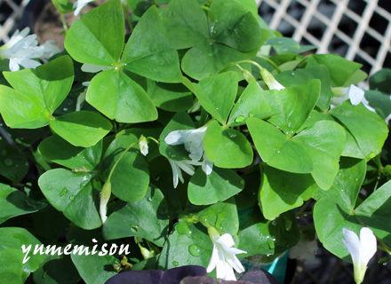 オキザリス 緑葉