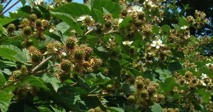 枝先には、ブラックベリーが房状になっています。
