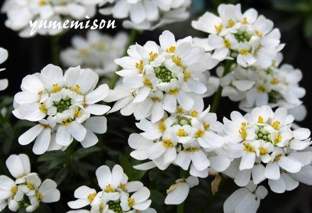 イベリスの花苗
