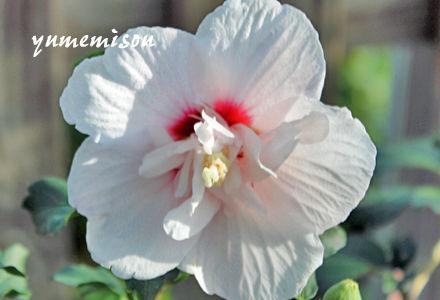 白花のミクゲ