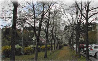 コブシの並木道