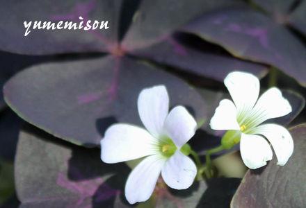 オキザリス 紫葉