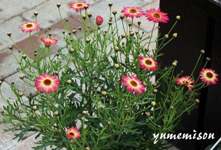 マーガレットの鉢植え