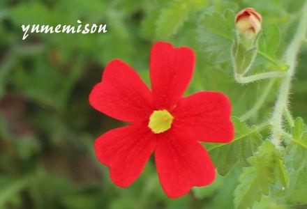サンブリテニアの花