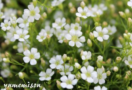 カスミ草ジプシー 白