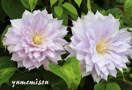 クレマチスの花