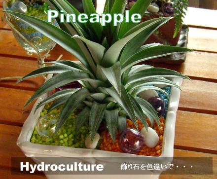 パイナップルの葉も、観葉植物です。
