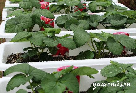 イチゴ苗のプランター