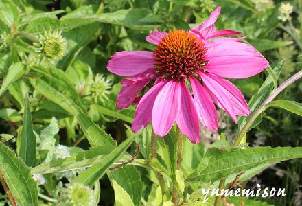 エキナセアの花