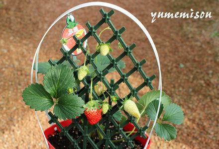 イチゴの鉢植え