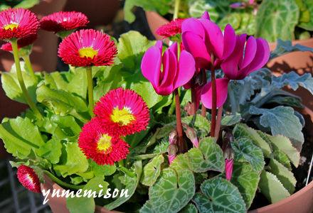 ガーデンシクラメンの小さい寄せ植え