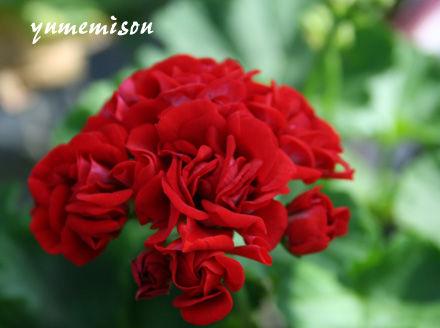 バラ咲きゼラニウム「エンジェルレディー」