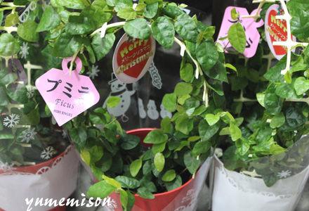 観葉植物プミラの鉢植え