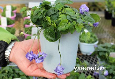 ニオイスミレの鉢植え