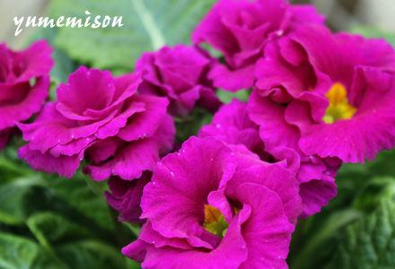 八重咲ジュリアン 紫