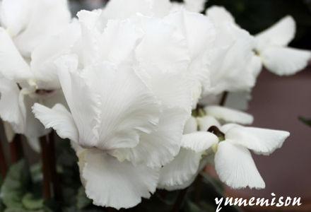 純白のシクラメン