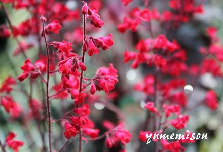 ヒューケラの花