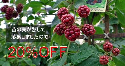 実の落ちたブラックベリーの苗、20%OFFで販売中!