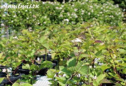 花が咲いているブラックベリー