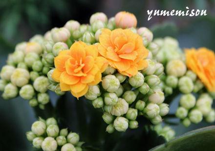 八重咲カランコエ2