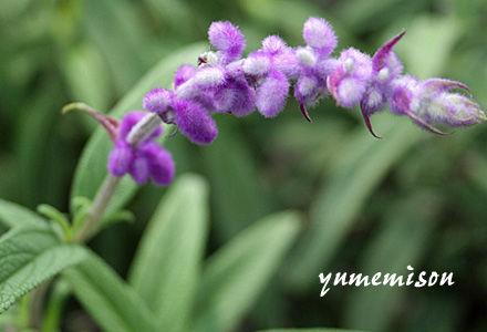 ベルベットのような花穂