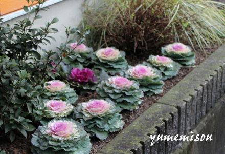花壇のハボタン