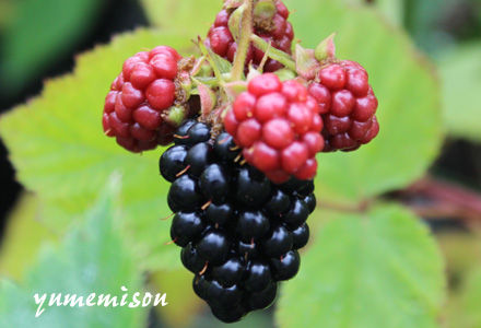 黒く熟し始めたブラックベリーの実