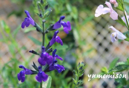 チェリーセージ 紫