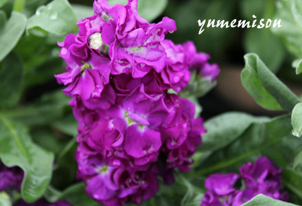 ストック 紫
