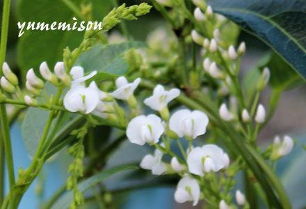 ハーデンベルギア 白花